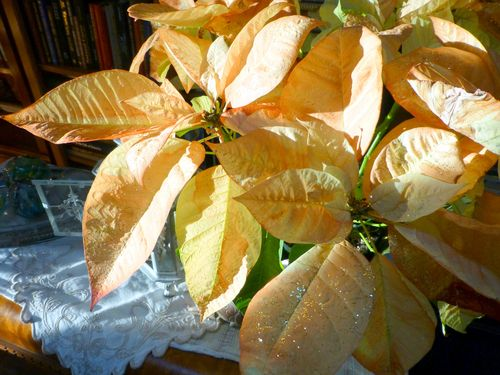 Lightened poinsettia